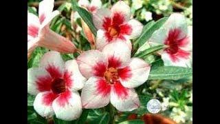 Aprenda o melhor método de adquirir e cultivar rosa do deserto
