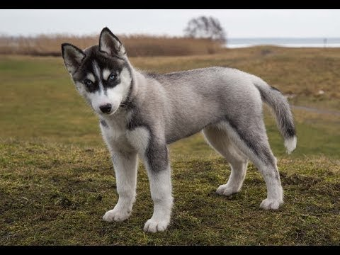 A very cute puppy of Siberian Husky, 12 weeks old :)  YouTube for Kids