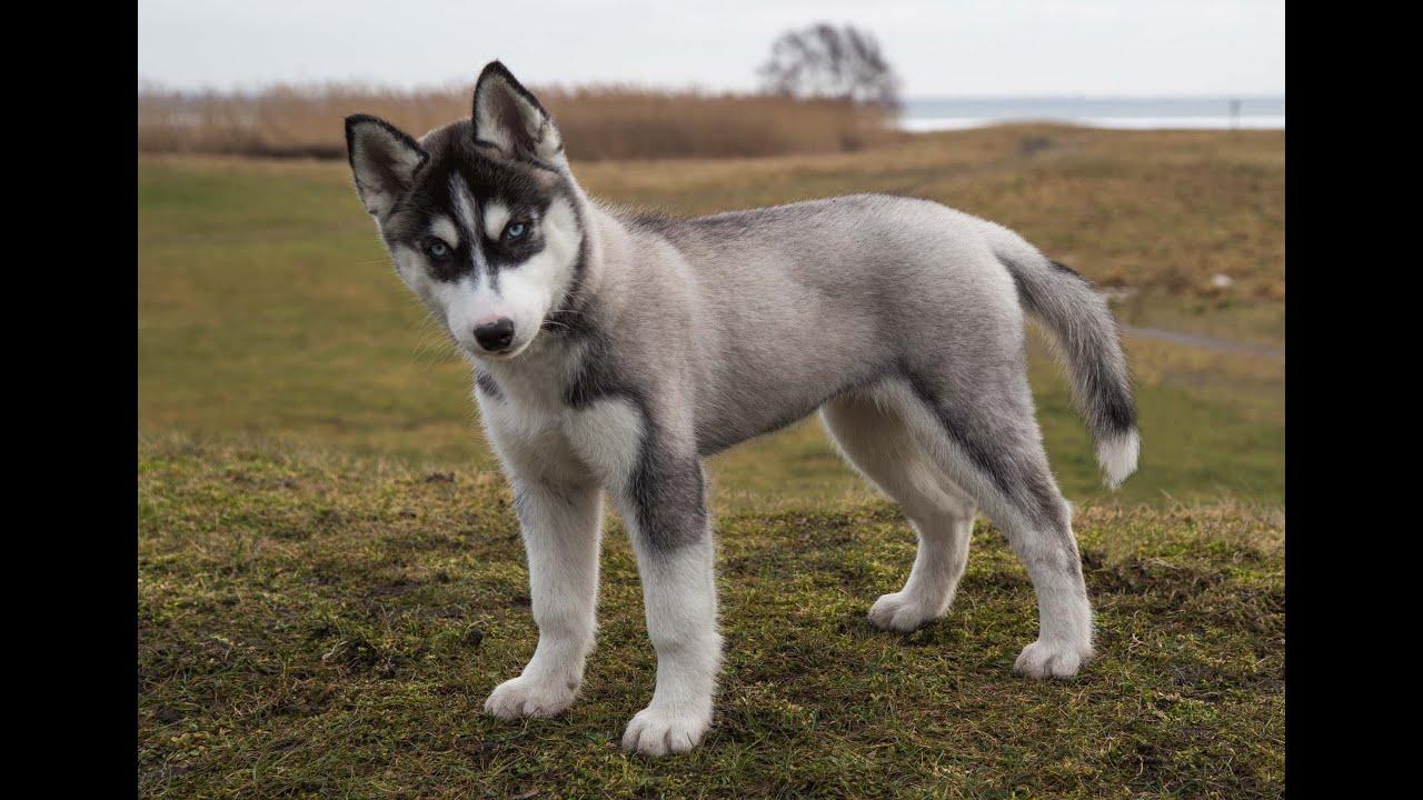 Cute Husky Wallpaper A Very Cute Puppy Of Siberian Husky 12 Weeks Old Youtube