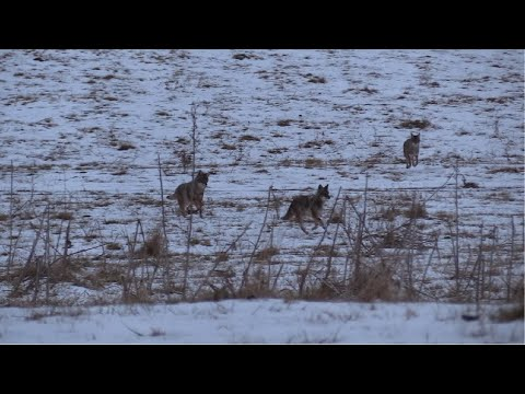 Coyote Hunting Triple 'Chaos'