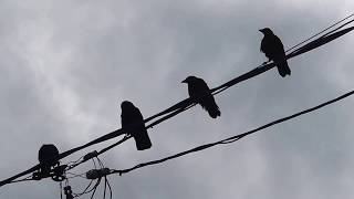 Four juveniles(?) of carrion crow (Corvus corone, family Corvidae) ...