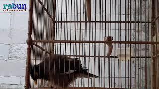 Gambar cover JALAK NIAS JANTAN GACOR ||| acridotheres tristis