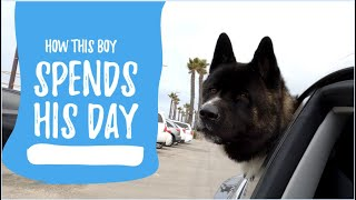 Giving My Akita the Best Life  A Day in the Life Video