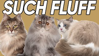 The Five FLUFFIEST Cat Breeds