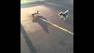 Elvis The Schnauzer Chasing An Airplane