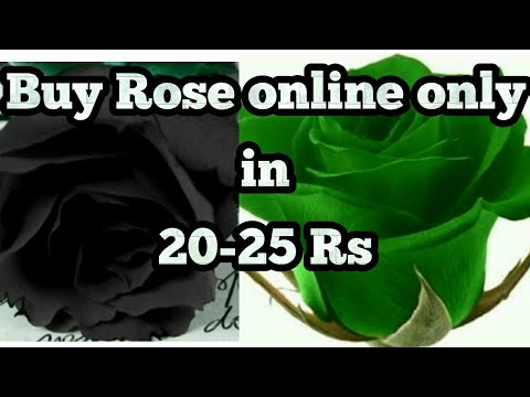 Black Green Rose Plant Online Only In 20 25 Rs