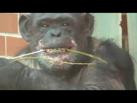 Chimpanzee Removes Bark Of A Stick