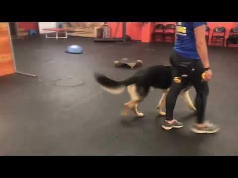 Dog Reactive Dog   Dog Training Progress