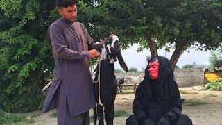 Shaitan Vs Bakra Eid | Bakra Eid 2019 | Qurbani Eid 2019 | ATTOCK TV