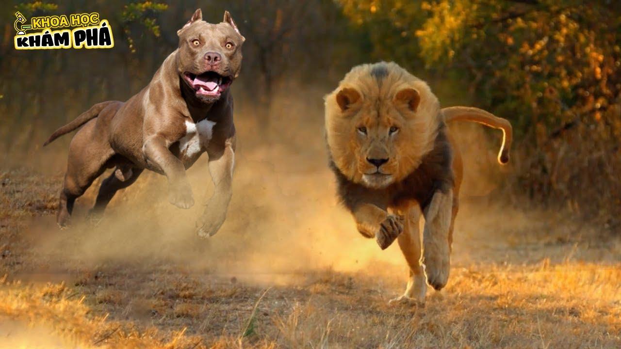 ⚡Chó pitbull ÔNG VUA CHÓ CHIẾN Loài Động Vật Duy Nhất Khiến Sư Tử Phải Ngán Ngẩm | Khoa Học Khám Phá