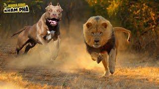 ⚡Chó pitbull ÔNG VЏA CHÓ CHIẾN Loài Động Vật Dขy Nhất Khiến Sư Tử Phải Ngán Ngẩm | Kнoa Học Khám Phá