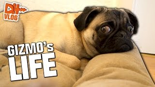 ONE DAY IN GIZMO's LIFE - Hardis Vlog