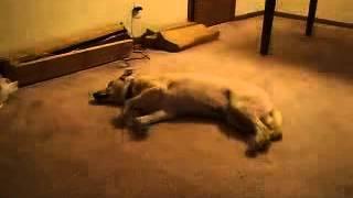 Собака бегает во сне. Dog runs when sleep