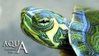 Aquascaping Lab - Trachemys Scripta Slider Turlte description Tartaruga Palustre Americana