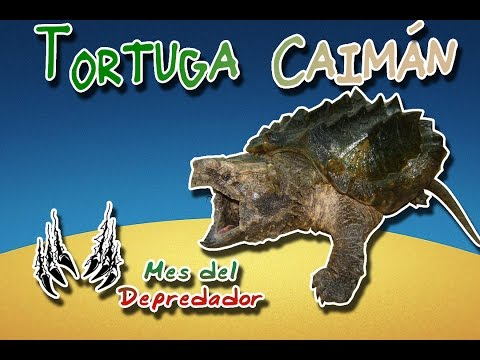 Alligator snapping turtle  The Dinosaur turtle  Animal World  Special Subscriber month