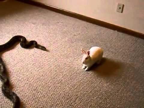 Reticulated Python Striking A (LIVE FEEDER) Rabbit.flv
