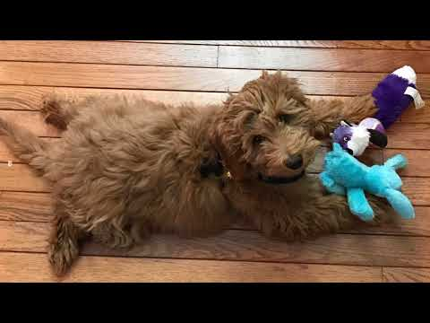 Mini goldendoodle images