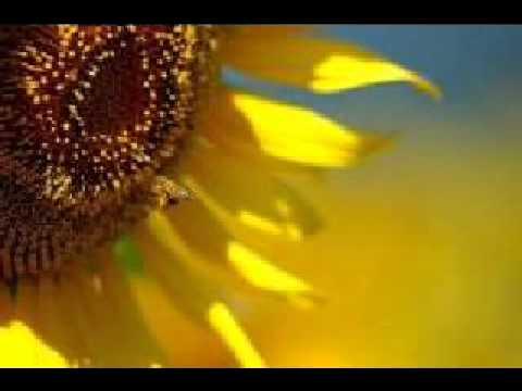 ひまわり(Sun flower)ヘンリー マンシーニ/川畠成道(Vn)