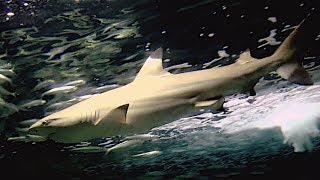ツマグロ  Blacktip reef shark  Carcharhinus melanopterus thumbnail