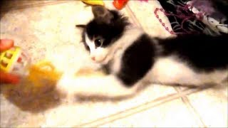Anakin our two legged kitten playing with his ball & feather
