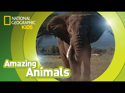 African Elephant 🐘 | AMAZING ANIMALS