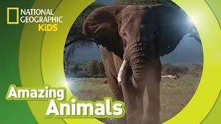 African Elephant AMAZING ANIMALS