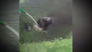 How This Family Helped A Manatee Trying To Swim Through Goopy Green Algae
