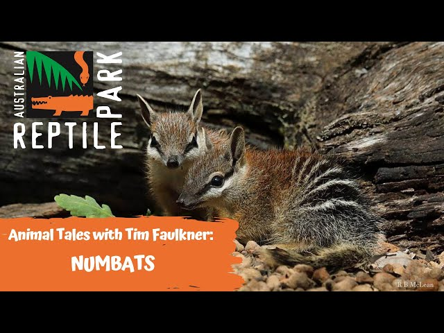 ANIMAL TALES WITH TIM FAULKNER | EPISODE 41 | NUMBATS!