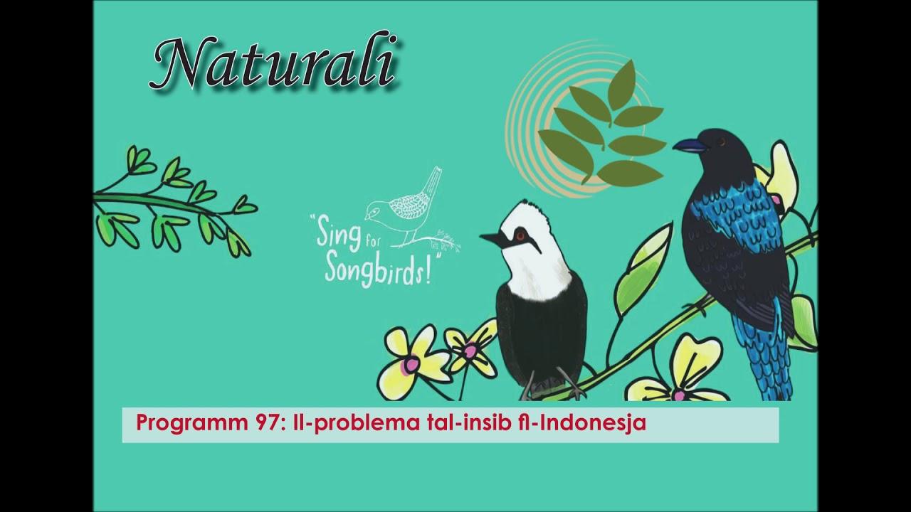Programm 97. Il-problema tal-insib fl-Indonesja