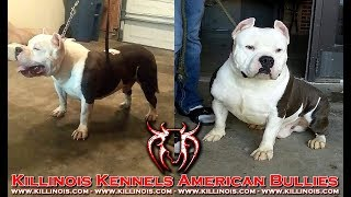 AMERICAN BULLY KILLINOIS WHITEFOLKS!!!!!!