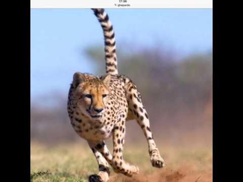 Top i 5 felini più pericolosi