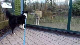 Dog interacting with wolves - Hund will mit Wölfen spielen (Zoo, Tiergarten Worms, Germany)