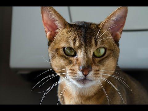 Gato Abisinio  / Abyssinian cat - Raza de Gato