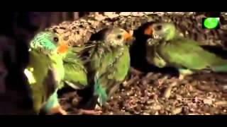 Documentales National Geographic Español   Australia tierra de loros 2015 HD
