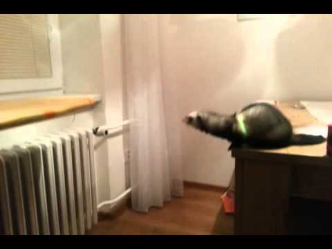 Ferret takes amazing leap