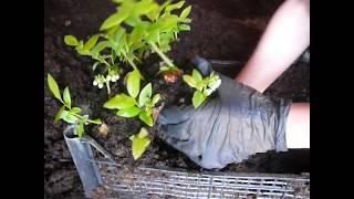 Пересадка укоренённых черенков голубики в контейнеры