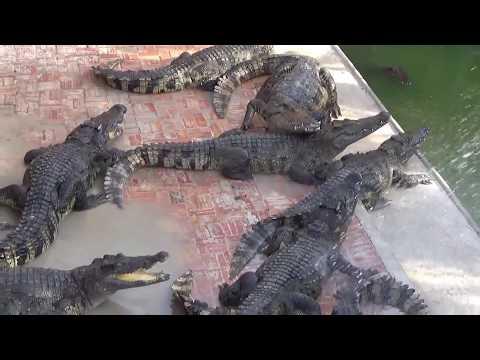 A Pretty Girl And Crocodiles- Girl Feeding Crocodile