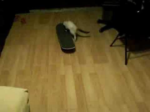 Cat Skateboarding!!!!