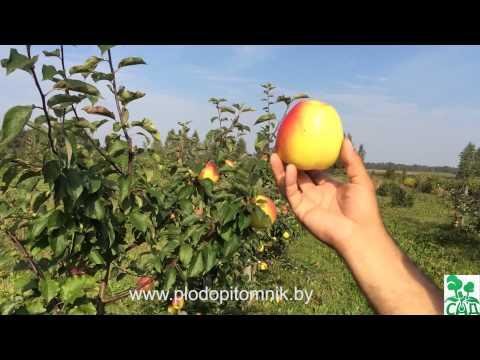 Яблоня сорт Голден Владимирский