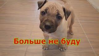Бойцовая собака гадит и писает в доме как отучить писать в доме Ам Стаффа
