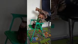 Золотые котята играют и веселятся.