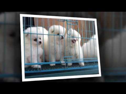 Pomeranian giá rẻ 2016 Tel: 0909162570