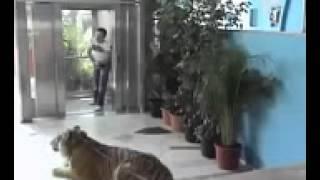 Camera escondida  TIGRE NO ELEVADOR