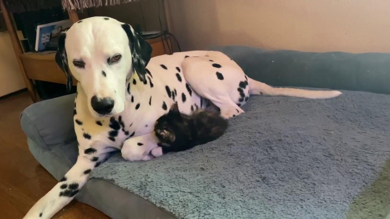 Dulce interacción entre el paciente dálmata y el gatito desagradable