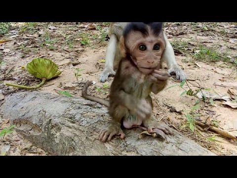 Momy Monkey Angry And Attack A little Cute Baby ST67