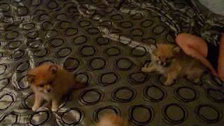 Early Christams present's Pomeranian Puppies!