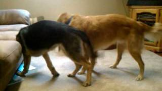 Prince (golden Retriever) Vs. Ali (german Shepherd)