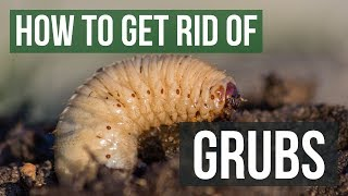 How To Get Rid Of Grubs Guaranteed 4