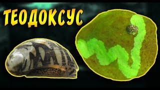 Как избавиться от водорослей в аквариуме с помощью улиток теодоксусов. Теодоксус улитка.