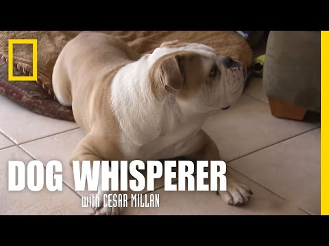 Brand New Bulldog | Dog Whisperer